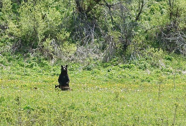 Ursus americanus. Mami schickt die drei Kleinen schon mal weg