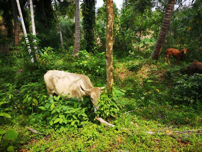 Kühe im Djungel