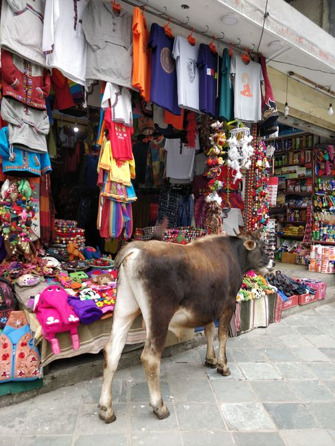 Muh auf Shoppingtour in Pokhara