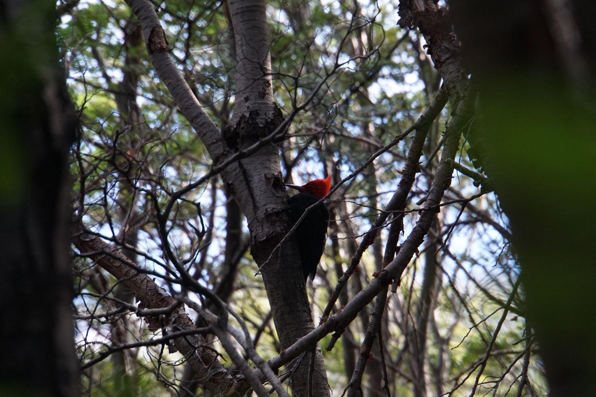 Ein Magellanspecht - am roten Kopf erkennt man das Männchen