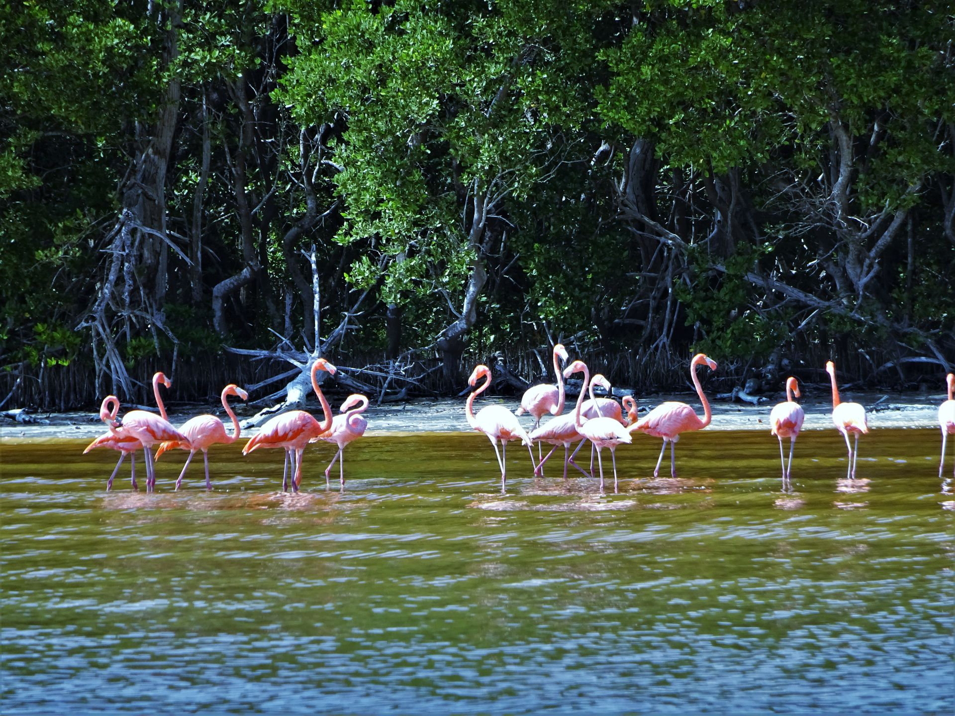 Flamingos in Celestún