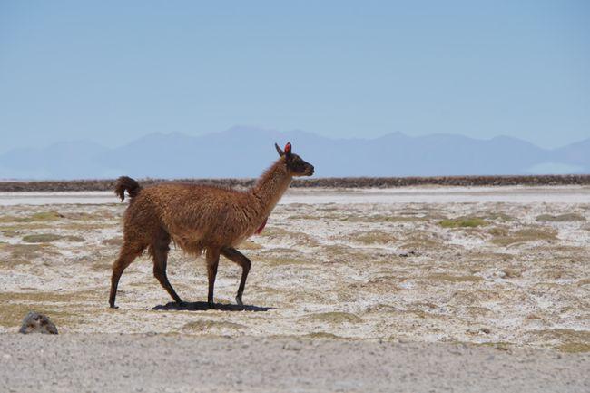 lamas-reisen