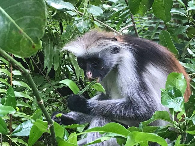 Sansibar Red Colobus