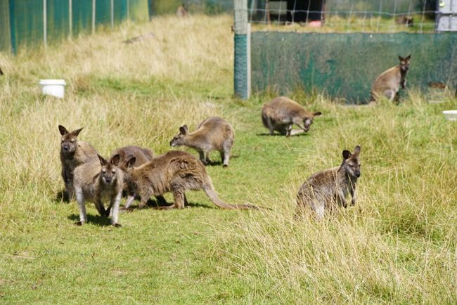 Wallaby-Farm