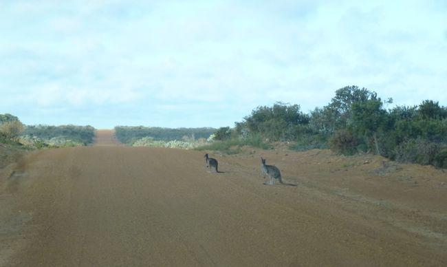 Überall freilebende Kängurus