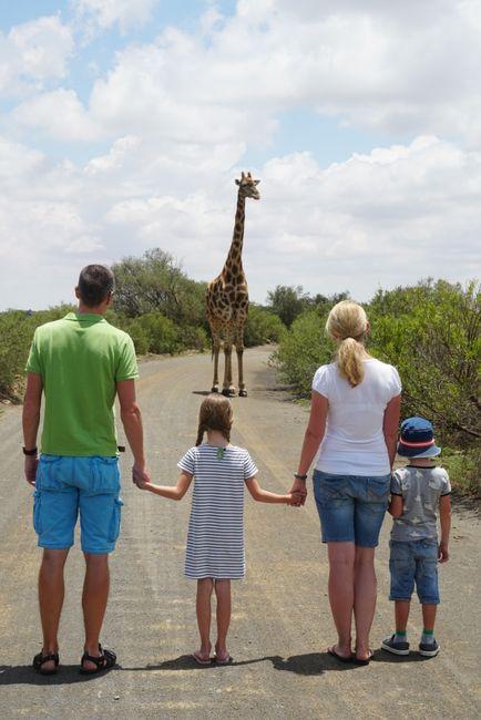 Giraffen auf dem Naval Hill