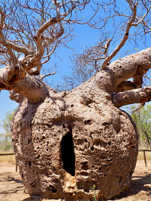 Prison for Aboriginals in a Baob Tree ... bad times in Australia using Aboriginals as slaves