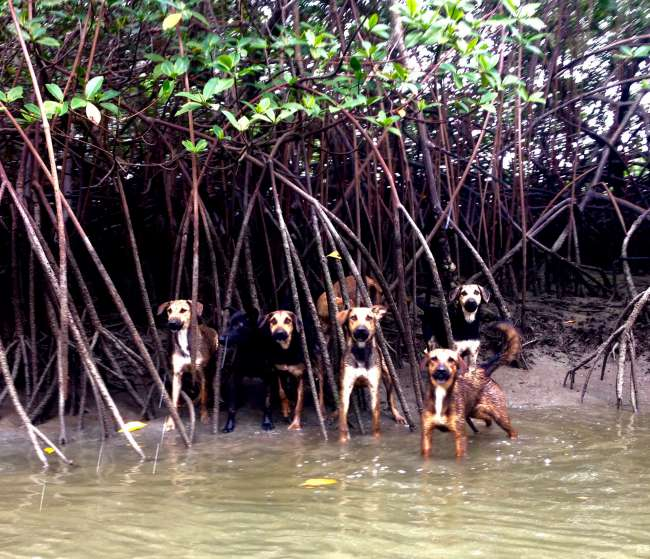 Dogs in the middle of the mangroves