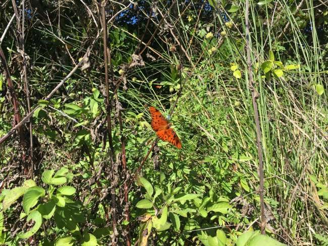Schmetterling in den Everglades