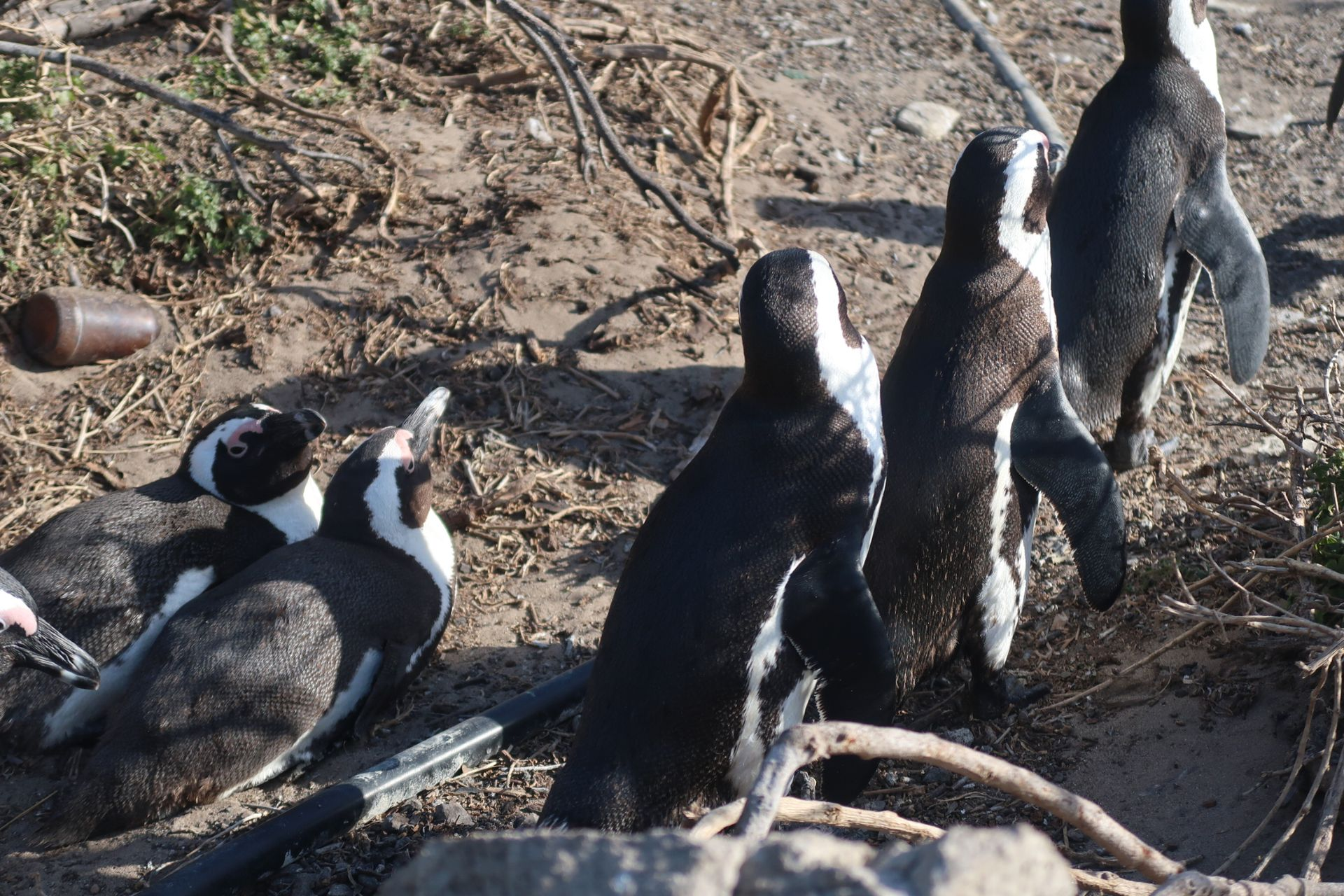 Betty's Bay, Brillenpinguine