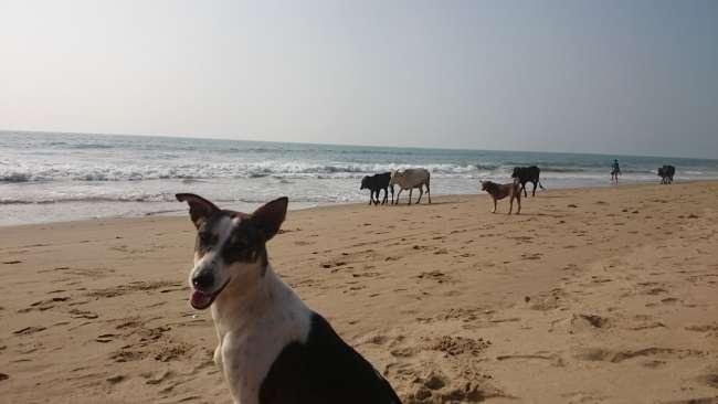 Es sind nicht nur Kühe , Hunde und Katzen auf den Straßen...Auch tag täglich bei uns am Strand.
